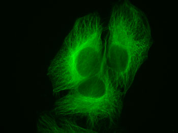 HeLa cells stained by alpha-Tubulin mAb and Chromeo 505 Fluorescent Secondary Antibody