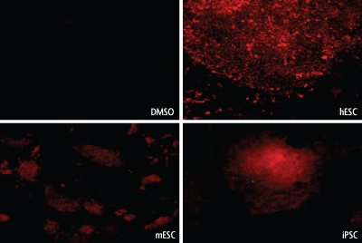 Fluorescent images of hESCs,mESCs and iPSCs stained with Stem Cell CDy1 Dye