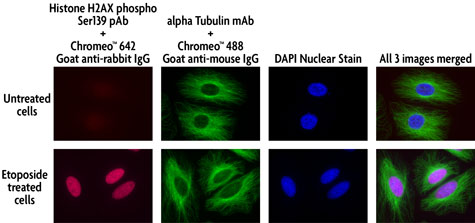 Multi-color staining of Phospho H2AX and tubulin using Chromeo 488 and Chromeo 642 secondary antibodies