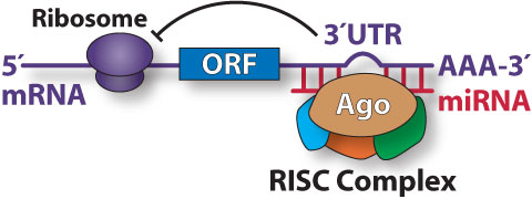 Diagram showing translational repression by a miRNA-directed, RISC Complex.