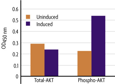 Measurement of phosphorylated AKT and total AKT using the FACE AKT Cell Based ELISA (In Cell Western) method.