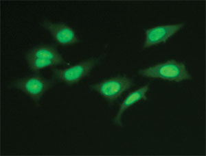 Lamin staining in fixed HeLa cells