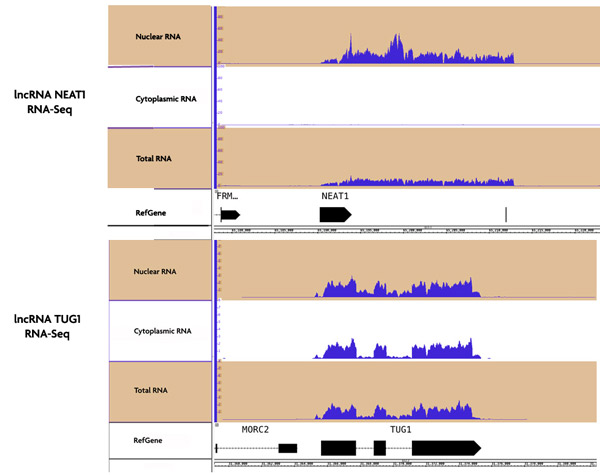 RNA-Seq data of nuclear and cytoplasmic RNA fractions purified with the RNA Subcellular Isolation Kit